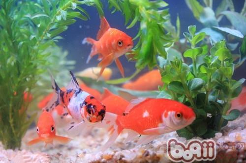 畜养于室内水族箱内的鱼花虽东南西北受光但光线较弱,对金鱼变色不顺
