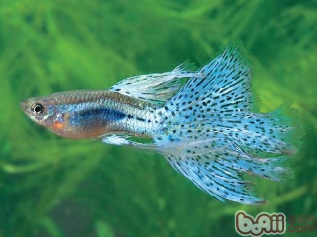 无棱角圆形或椭圆体的卵石适宜放置在小型鱼缸点缀造景.