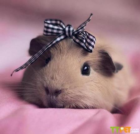 仓鼠是一种可爱的小动物
