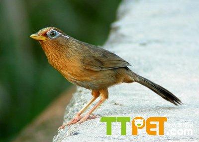 画眉鸟幼鸟分公母图解图片
