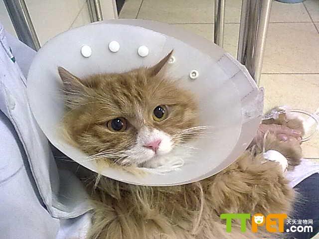 猫咪呕吐最常见的原因了,而且不分长毛猫还是短毛猫,甚至连狗和兔子