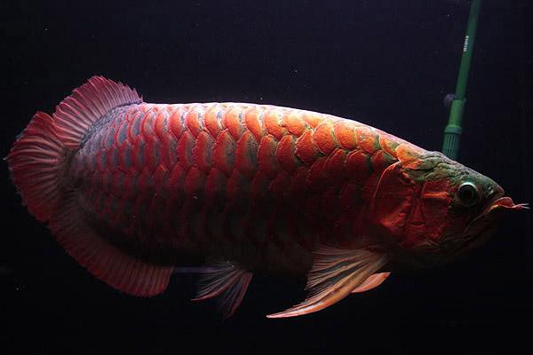 粗框红龙鱼图片_水景堂