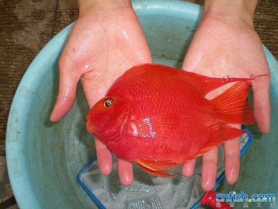 鹦鹉鱼混养最佳搭配图-请问用没有水泵的小鱼缸可以养金鱼吗图片