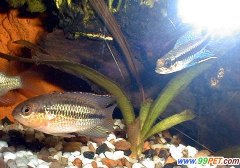 南美短鲷所属种类的介绍