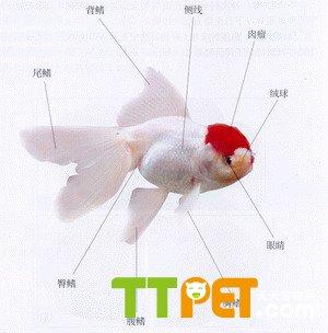 金鱼的身体分为头部,躯干部