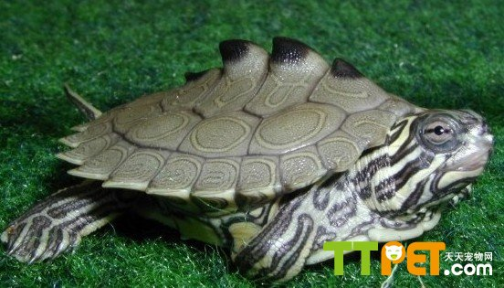 龟 骨骼结构图