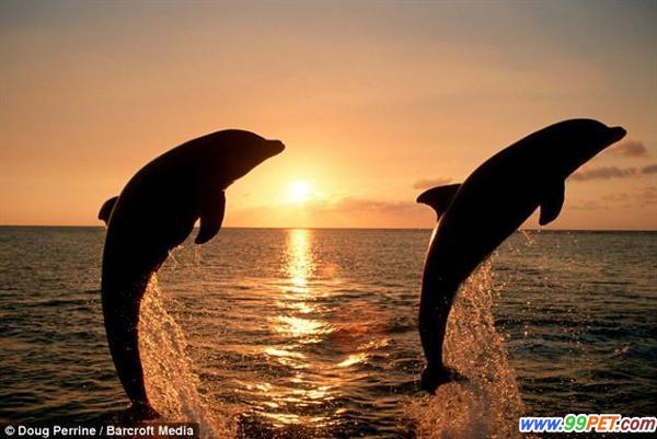 59岁的美国摄影师Doug Perrine在前往巴哈马的路上拍到了跃出海面的海豚。这两头海豚好像在比赛谁跳的更高。南非特兰斯凯的野生海岸,几头海豚在汹涌的海浪中跳跃。巴哈马群岛附近海域,夕阳西下,两头跳跃的海豚呈现出美丽的剪影。巴哈马群岛附近,在海面上飞跃的海豚和夕阳美景相映成趣。 在南非巴哈马群岛,海豚们争相跳跃,似乎在比试谁跳得最高。就像镜头前的名人一样,海豚们面对镜头时,也似乎更爱表现的更欢腾,表现欲望极强。美国摄影师Doug Perrine在该地进行旅游时,拍摄到了这些景象。