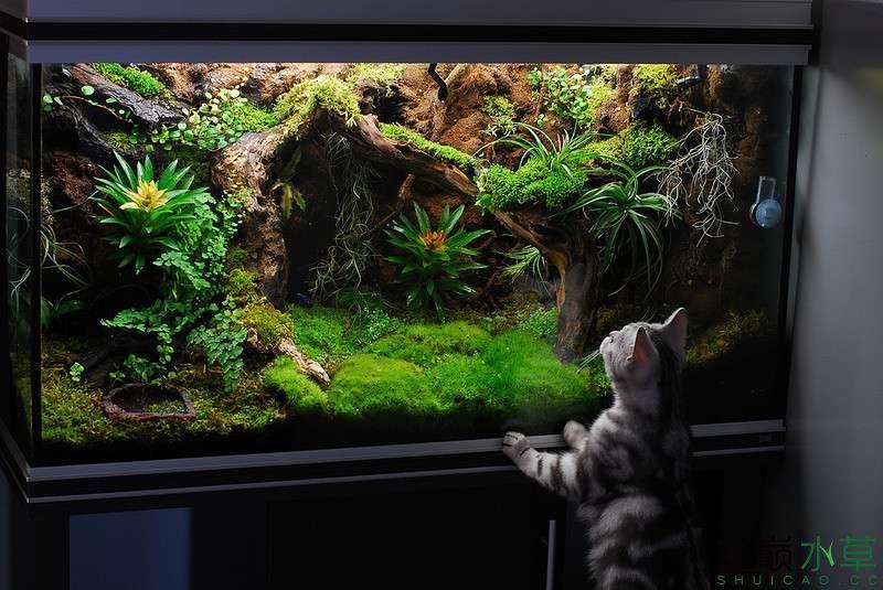 孔雀鱼组缸设计图_让猫咪目瞪口呆的超酷炫雨林生态缸_水景堂