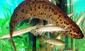 没水也能活的神奇肺鱼(多图)