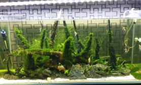 做两个月了水草缸勉强能看了沉木杜鹃根青龙石水草泥
