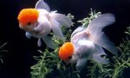 春天来了又到金鱼繁殖时(图)