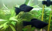 黑玛丽鱼的饲养要点