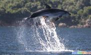 章鱼黏附海豚腹部空中飞跃(多图)