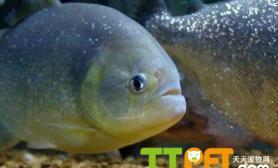 食人鲳魚品种资料简介