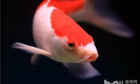 观赏鱼水中氧气的四大来源