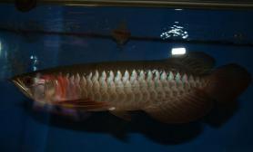 宝石龙鱼血统金龙鱼