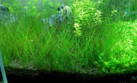 求大虾解救水草缸牛毛草长褐藻怎么办