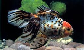 如何给观赏鱼从活饵转换为饲料