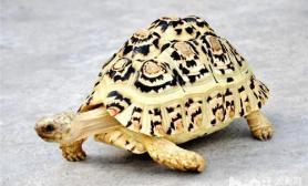 豹纹陆龟怎么养好养吗