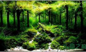 水族箱造景国际大赛的水草造景--小树林
