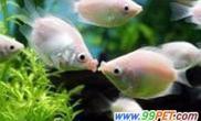 接吻鱼迎情人节(图)