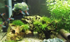 水草造景开缸一个月了水草缸比以前漂亮了沉木杜鹃根青龙石水草泥
