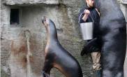 海狮大口吃食(多图)
