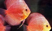 七彩神仙鱼的饲养环境