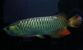 高背金龙鱼照片欣赏