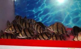 泰国虎的性格特点与食性(图)