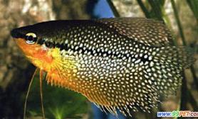 珍珠丝足鱼的别名及分布(图)