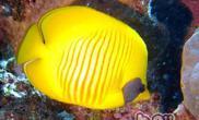 黄色蝴蝶鱼的品种简介