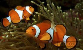 人工小丑鱼的饲养技巧 独家揭秘