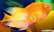鹦鹉鱼饲喂经验如何保持身体红色不退(图)