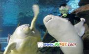 百岁海龟引导鲨鱼游泳减肥(图)