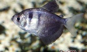 黑裙鱼的品种简介