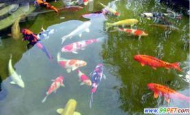 上海宠物大会11日举行价值50万的锦鲤隆重登场(图)