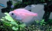 红裙鱼的品种简介
