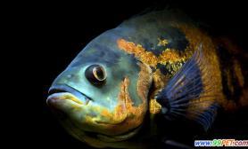 鱼缸里买回4条地图鱼两天后失踪3条鹦鹉鱼(图)