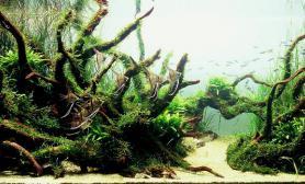 神仙鱼沉木水草鱼缸造景莫斯搭配