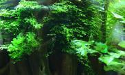 新手提问之怎么把MOSS水草种到沉木上?
