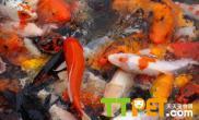 锦鲤的寄生虫病的预防和治疗