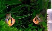 七彩凤凰鱼的外形特点