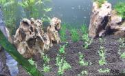水草造景忙了两天水草缸弄好了沉木杜鹃根青龙石水草泥
