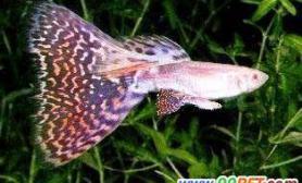 罕见的连体红尾孔雀鱼(图)