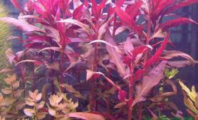 水草造景淡水水草种类