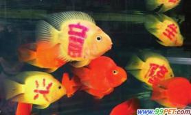 中国的文身时尚正在肆意摧残弱小的鹦鹉鱼(图)