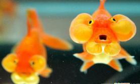 金鱼为自来水水质把关(图)
