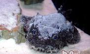 三棘狮子鱼的外形特点