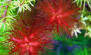 探讨如何增加花青素的产生以让水草变红(图)